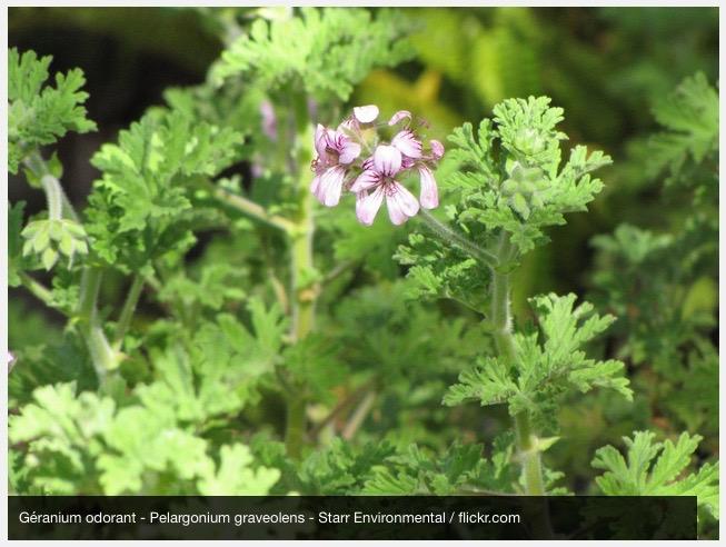La plante anti moustiques - Plante grimpante anti moustique ...